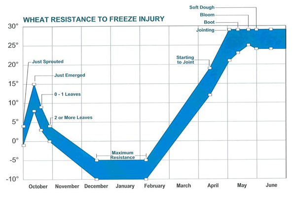 Graph showing temperatures that cause damage to winter wehat at different stages