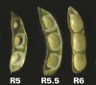 Photo 2. Mid-seed set (R5.5) have seeds that are expanding in the pod.