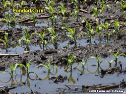 Ponded Corn 1