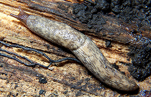 Figure  1. The mature gray field slug is 1 to 2 inches in length and pale cream to gray in color with mottled spots. Photo by Bruce Marlin, Wikipedia.