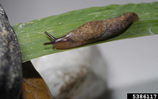 Figure 3. Slug baits will only suppress populations. Photo by Joseph Berger, www.ipmimages.org.