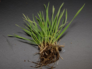 Downy brome seedlings