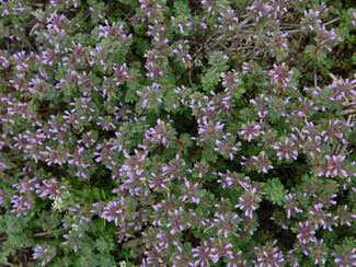 Henbit in the spring