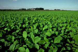 Photo: soybean field
