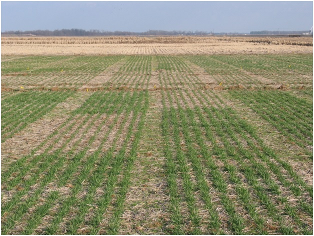 Photo 1 The benefit of fall-applied N to the growth of winter wheat following flood-irrigated rice in the rotation.