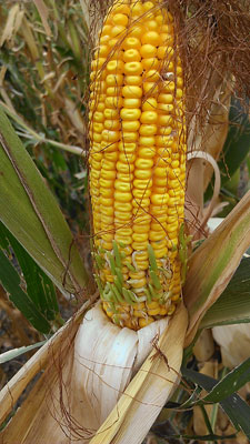 Hail-damaged corn in central Nebraska may be sprouting due to a disruption of normal growth hormones.