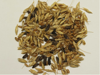 Ergot in wheat. The black sclerotia are thickened fungal survival structures that are mixed with normal wheat seed (Picture courtesy of Stephen Wegulo, UNL)