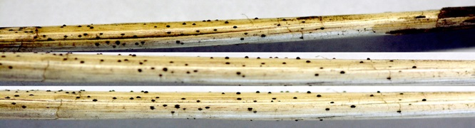 Above: Figure 1. Wheat straw with fruiting bodies of tan spot fungus. Photo by: E. Byamukama - See more at: http://igrow.org/agronomy/wheat/is-fungicide-applied-with-herbicide-profitable-costs-of-early-fungicide-app/#sthash.GEqHMAtb.dpuf