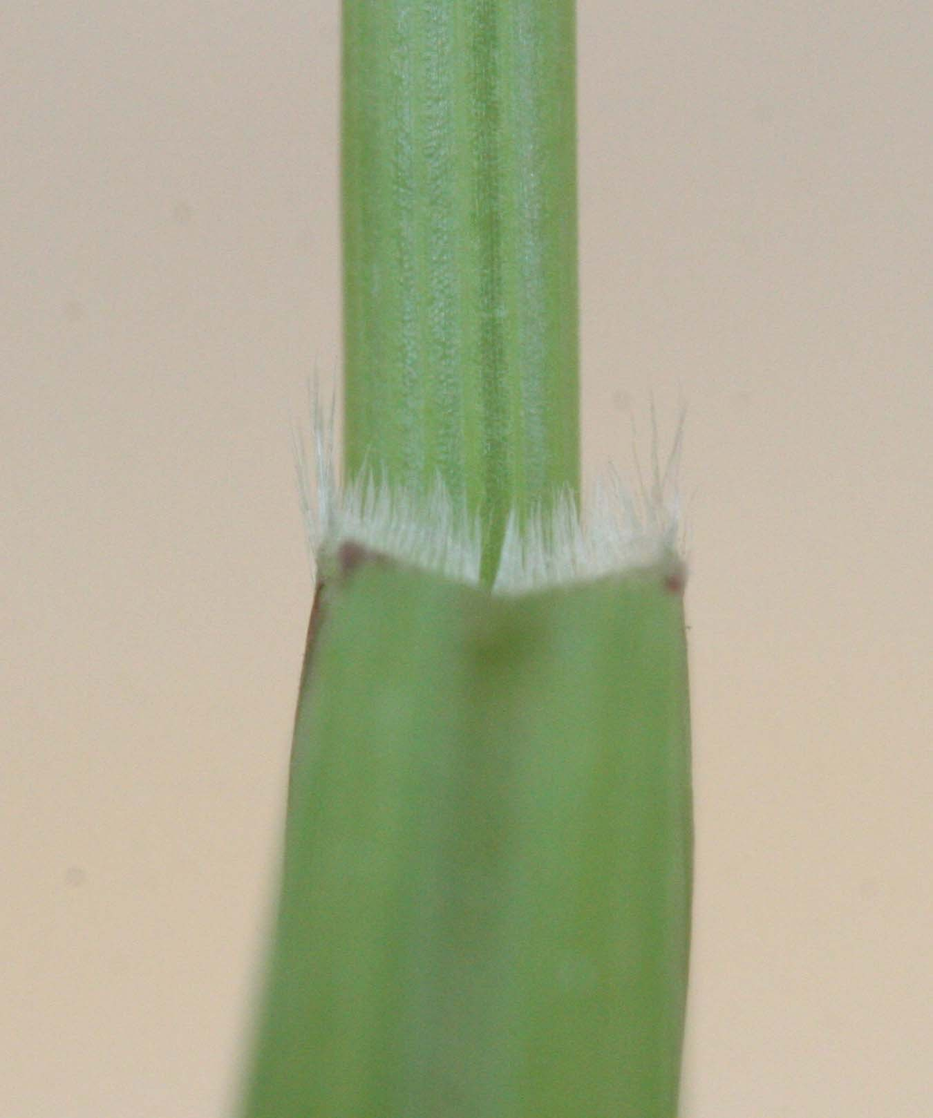 Figure 2. A ligule is a thin membranous sheath that occurs at the junction between the leaf and stem.  The foxtails all have a ligule that is hair-like.