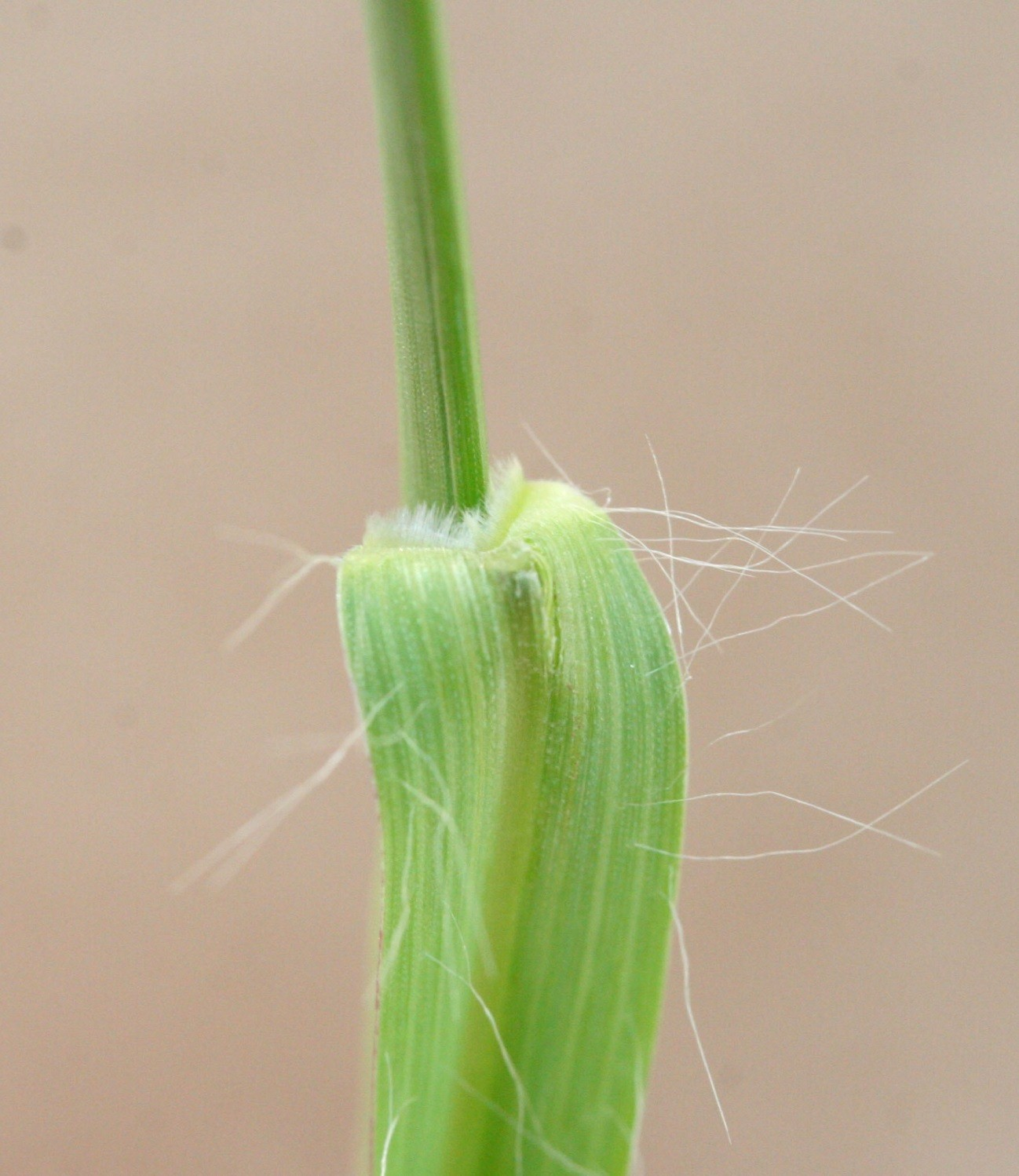 Figure 3. Yellow foxtail is easily distinguished from giant and green foxtail by the presence of long, cobweb-like hairs in the collar region.