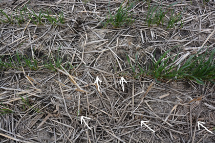 Wheat plants killed by root rot (arrows) and not winter injury. There was good insulation provided by the residue.