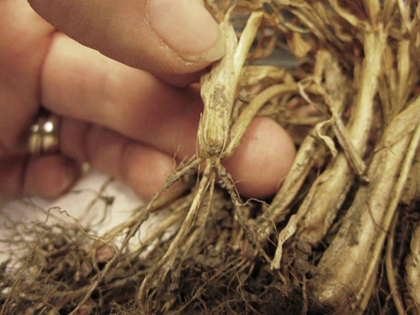 Dead wheat plants with healthy roots. This is an example of winter kill