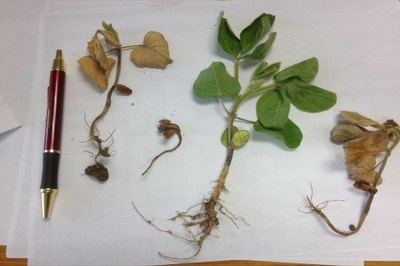 Phytopthora sojae symptoms during soybean development. (Source: Eric Richer, OSUE Fulton)