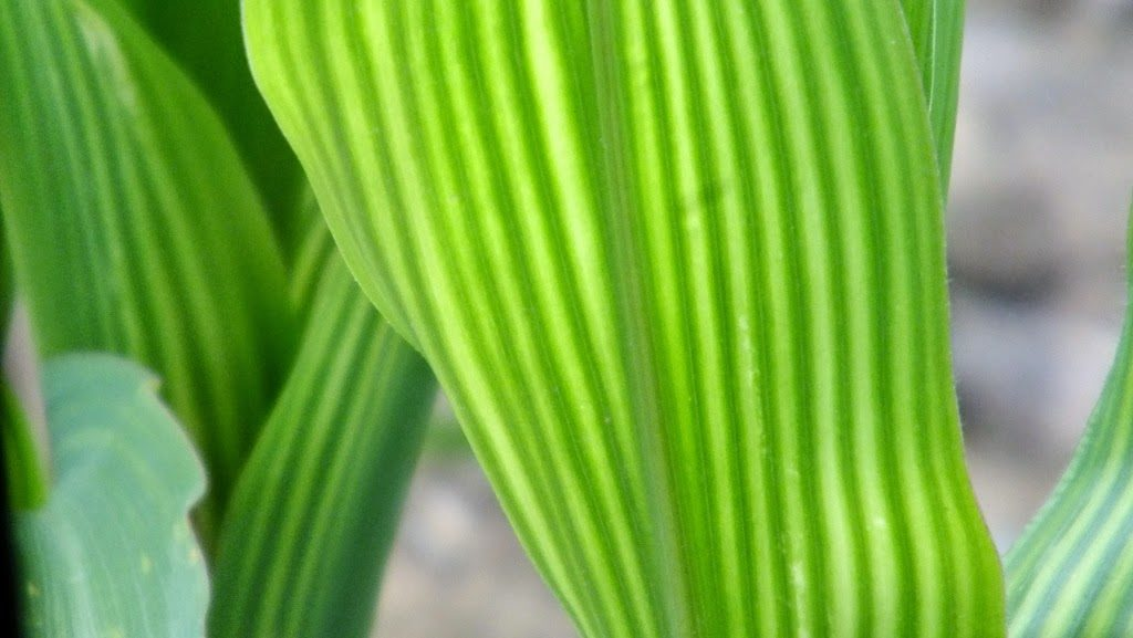 Striping on Corn Leaves