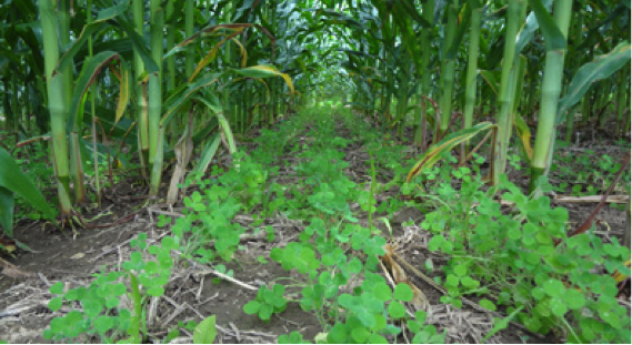 cover crops lie dormant under canopy of shade provided by maturing corn