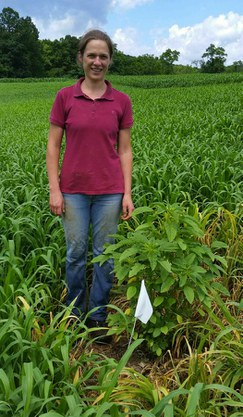 Former Penn State Field & Forage Educator Eli Snyder discovers glyphosate resist. Palmer Amaranth growing in several crops in late June. This plant was treated with glyphosate approx. one week prior to this photo. Image taken by Dr. Greg Roth 7/7/14