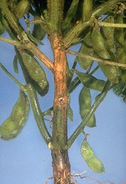 Diaporthe stem canker