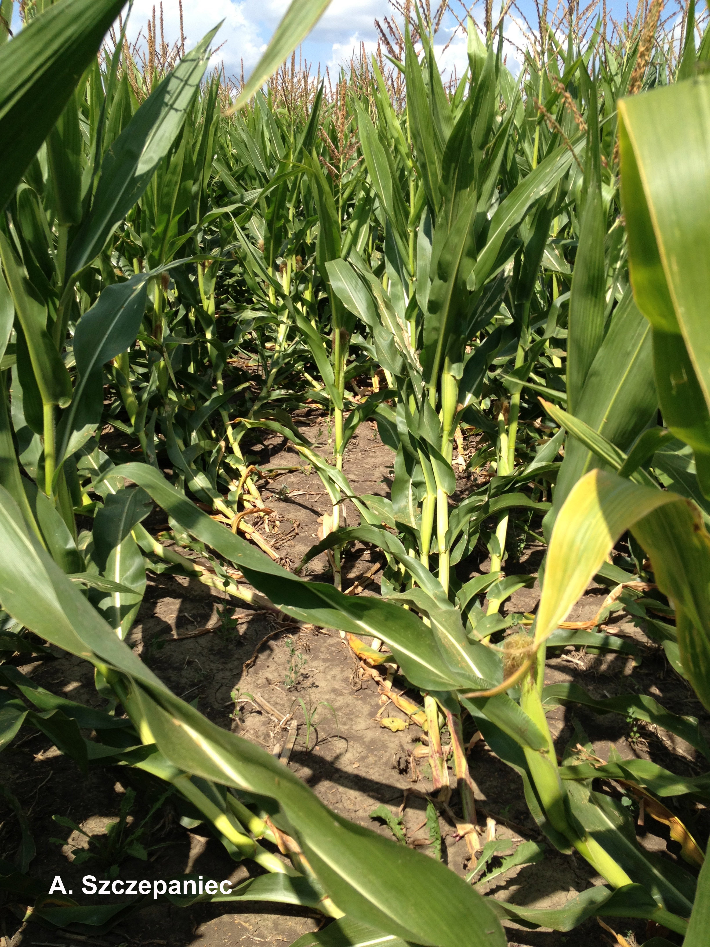 Figure 2. Corn rootworm damage in late-planted corn. This field was planted late the previous year and acted as a trap crop for adult corn root worms.
