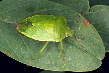 Figure 1. Green stink bug