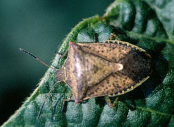 Figure 2. Brown stink bug