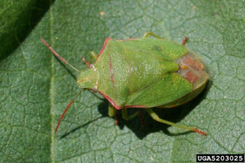 Figure 3. Red-shouldered stink bug (Photo by Russ Ottens, University of Georgia, Bugwood.org)