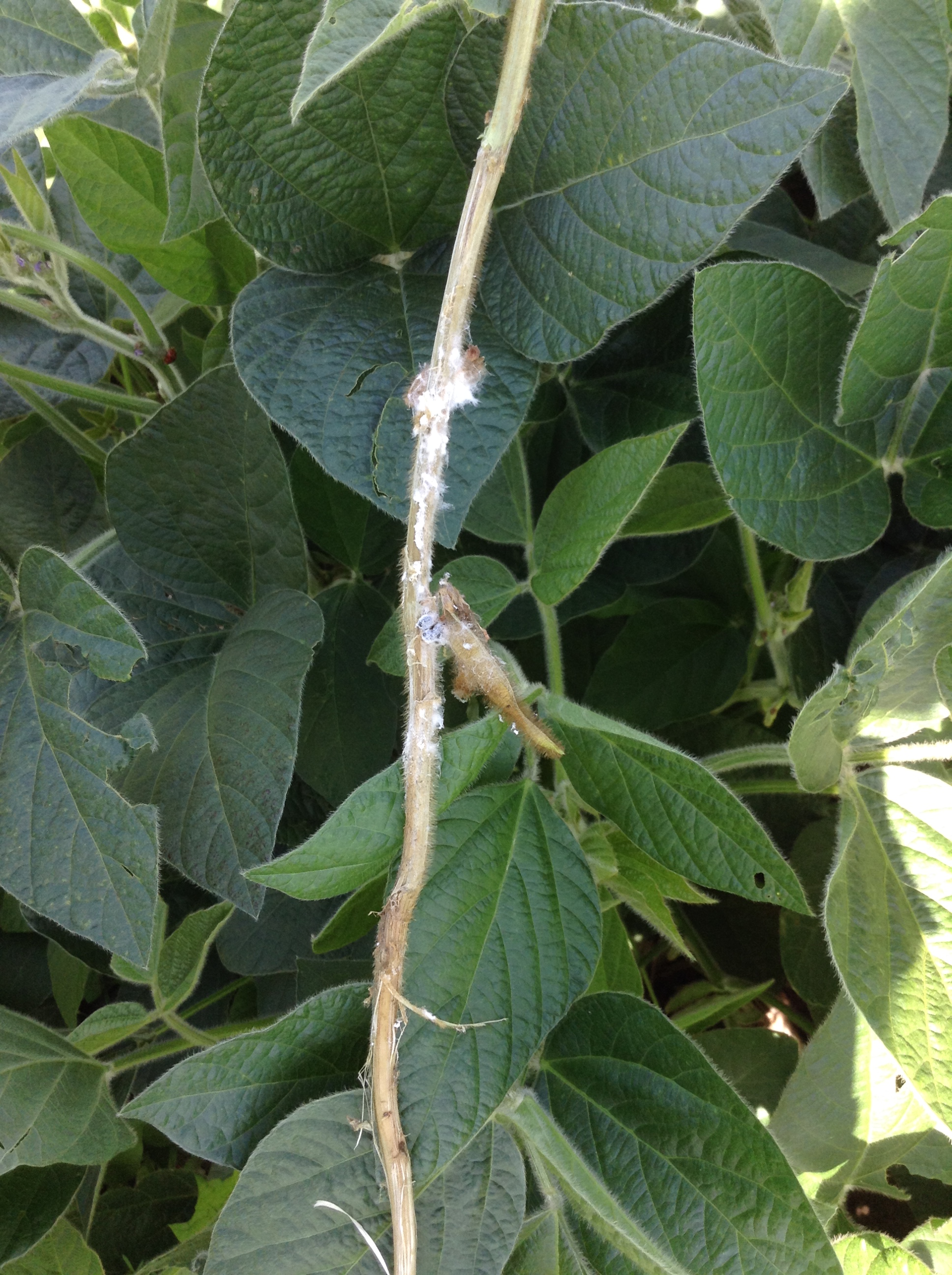 White mold on soybean stem.