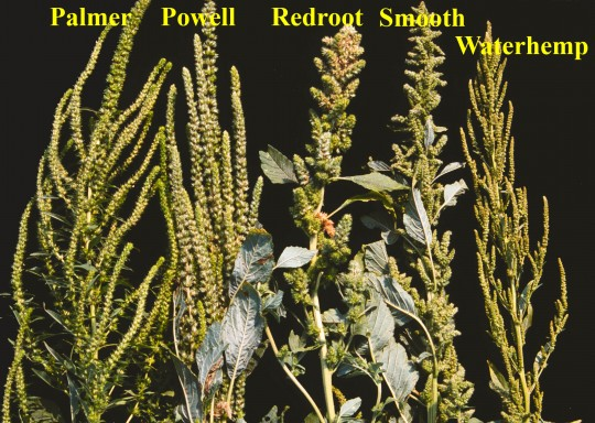 Inflorescences of five Amaranthus species.