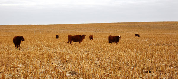 Considerations For Grazing Corn Residue