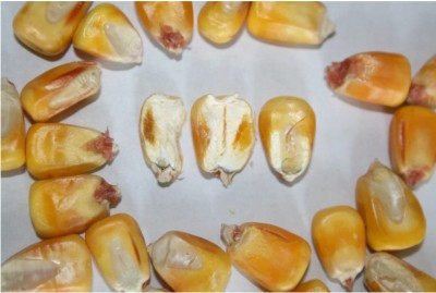 Cross section of corn kernels showing abscission or black layer. Even if black layer is not reached before killing frost, kernel dry down rates are very similar to mature corn and are affected by the same factors, mainly temperature and humidity.
