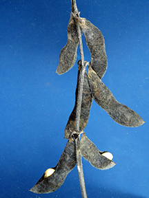 Figure 1. Tips of swollen soybean seeds visible between the two halves of the pod wall.