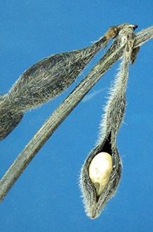 Figure 2. Close-up of swollen seed. The hilum is visible so the seed has detached from the pod wall and subject to shattering.