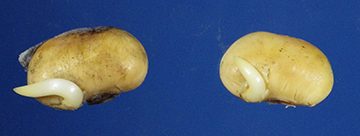 Figure 4-A. Germinated soybeans seeds removed from soybean wall.
