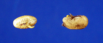 Figure 4-B. Germinated soybeans seeds after 24 hours of drying. Note color changes and breaks in the seed coats.