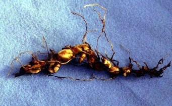 A Johnsongrass rhizome: these structures spread underground and produce new shoots.
