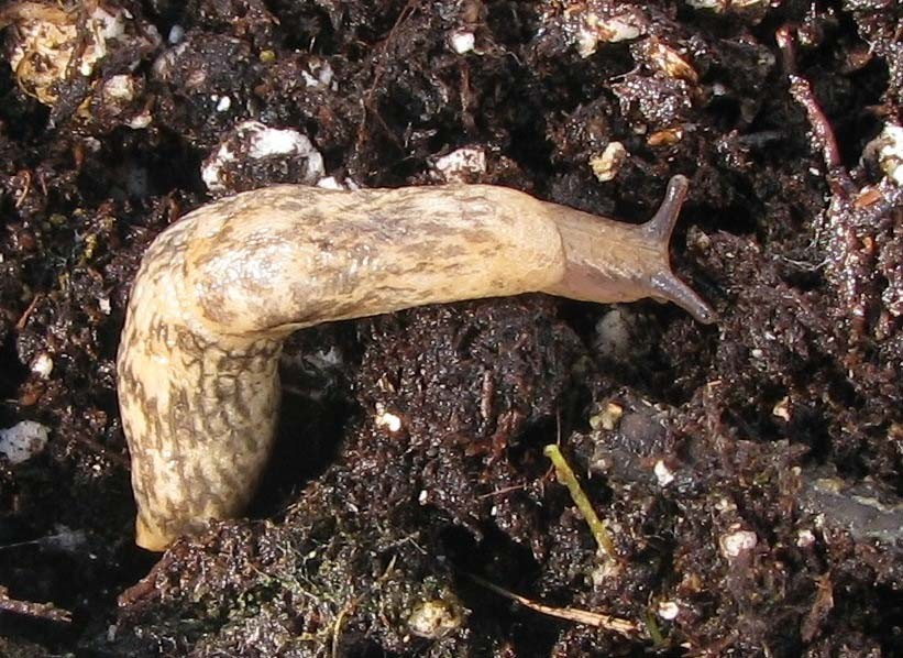 Slugs were unaffected by neonicotinoid insecticides, likely because they are mollusks and not insects, but they did pass the insecticides to their predators.