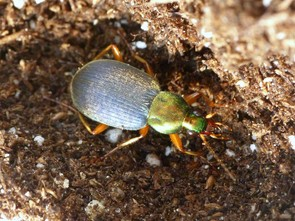 This image shows a Chlaenius tricolor, a ground beetle species that eats slugs. The researchers found that slugs transmitted the neonicotinoid insecticide to predatory ground beetles, impairing or killing more than 60 percent of the beetles.