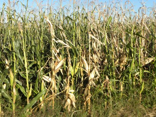 Corn-stalk-fig1.jpg