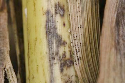 Corn-stalk-fig3.jpg