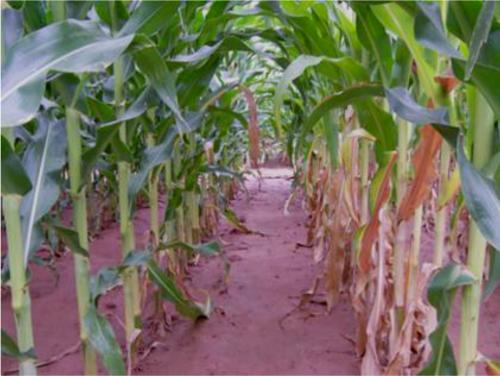 firing-corn02.jpg